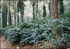 Coffee is grown under shade trees that carry pepper vines.